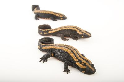 Laos Warty Newts at the National Mississippi River Museum and Aquarium-Joel Sartore-Photographic Print