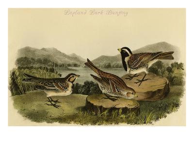 Lapland Lark Bunting-John James Audubon-Art Print