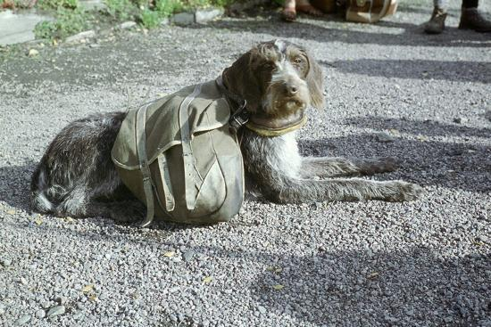 Lapp dog with panniers-Unknown-Photographic Print