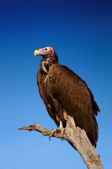 Lappetfaced Vulture against Blue Sky (Torgos Tracheliotus) South Africa-Johan Swanepoel-Photographic Print