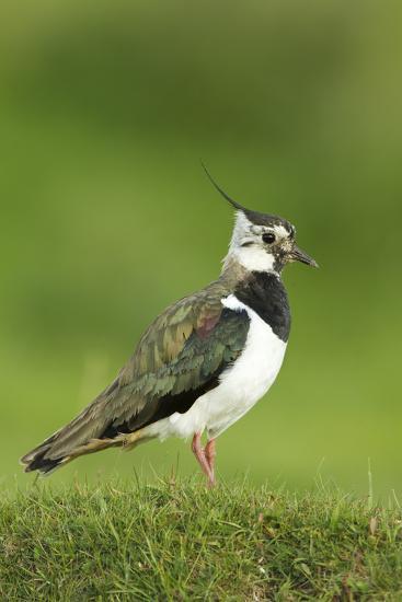 Lapwing (Vanellus Vanellus) Adult in Breeding Plumage, Scotland, UK, June-Mark Hamblin-Photographic Print