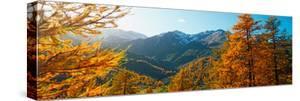 Larch Trees in Autumn at Simplon Pass, Valais Canton, Switzerland