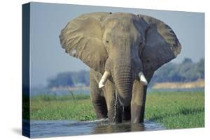 Large African Elephant Bull Feeding Along The