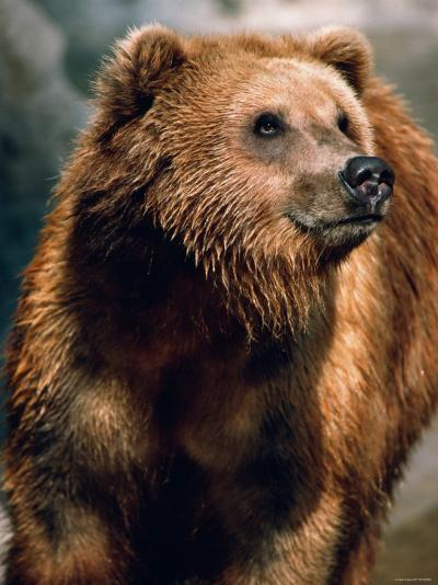 Large and Wet Brown Bear Standing in Nature--Photographic Print
