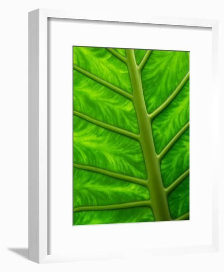Large Arum Leaf Up Close, Showing Veins and Color Pattern-Darlyne A^ Murawski-Framed Photographic Print