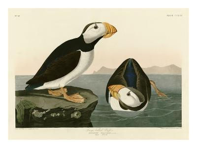 Large Billed Puffin-John James Audubon-Giclee Print