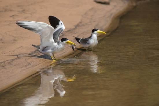 Large-Billed Tern, Northern Pantanal, Mato Grosso, Brazil-Pete Oxford-Photographic Print