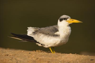 Large-Billed Tern-Joe McDonald-Photographic Print