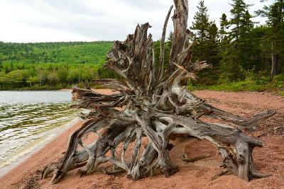 Large Driftwood Tree on the Warren Lake Beach, in Cape Breton Highlands National Park-Darlyne A^ Murawski-Photographic Print