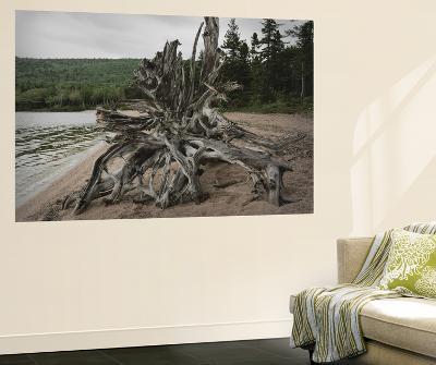 Large Driftwood Tree on the Warren Lake Beach, in Cape Breton Highlands National Park-Darlyne A^ Murawski-Wall Mural