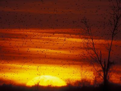 Large Flock of Blackbirds Silhouetted at Sunset, Missouri, USA-Arthur Morris-Photographic Print