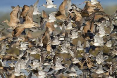 Large Flock of Shore Birds Takes Off-Hal Beral-Photographic Print