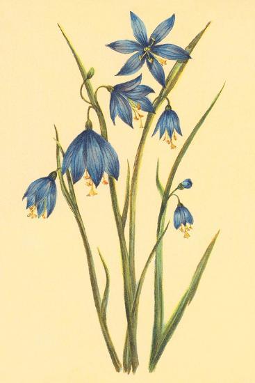 Large Flowered Blue Eyed Grass--Art Print