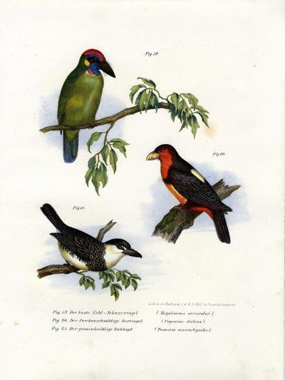 Large Green Barbet, 1864--Giclee Print