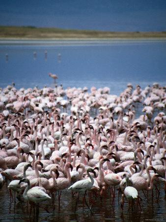 https://imgc.artprintimages.com/img/print/large-group-of-lesser-flamingos-on-soda-lake-ngorongoro-crater-arusha-tanzania_u-l-p1zm1o0.jpg?p=0