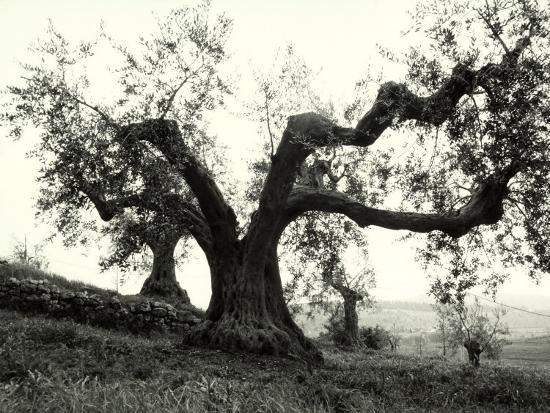 Large Olive Tree in the Tuscan Hills-Vincenzo Balocchi-Photographic Print