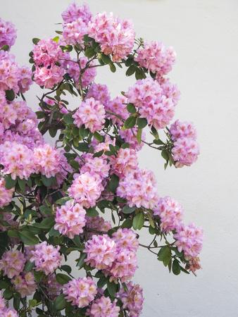 https://imgc.artprintimages.com/img/print/large-pink-rhododendron-bush-blooming-against-a-white-wall_u-l-q1gt3rv0.jpg?p=0
