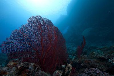 Large Red Gorgonian Sea Fan on a Fijian Reef-Stocktrek Images-Photographic Print