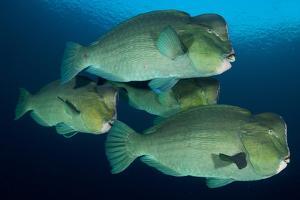 Large School of Bumphead Parrotfish, Bali, Indonesia
