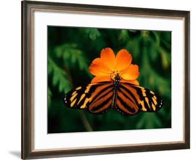 Large Tiger Butterfly (Lycorea Cleobaea) Resting on a Flower, Costa Rica-Mark Newman-Framed Photographic Print