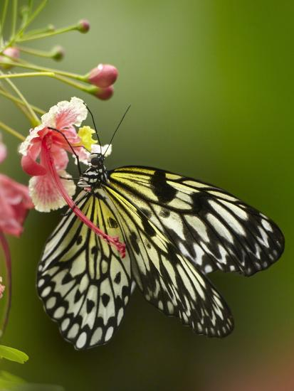 Large Tree Nymph Butterfly Drinking Nectar, Philippines-Tim Fitzharris-Photographic Print