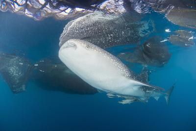 Large Whale Shark Coming Up to Siphon Water from Fishing Nets-Stocktrek Images-Photographic Print