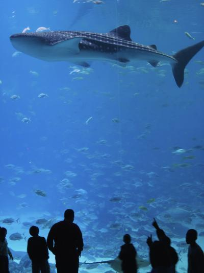 Large Whale Shark Swimming In Tank With People Below At Georgia Aquarium P Ographic Print By Frank Carter Art Com