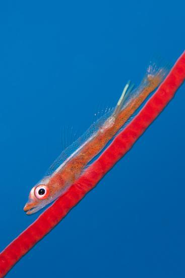Large Whip Goby (Bryaninops Amplus) with a Parasitic Copepod-Alex Mustard-Photographic Print
