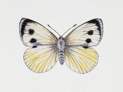 Large White Butterfly (Pieris Brassicae), Pieridae, Artwork by Rebecca Hardy--Giclee Print