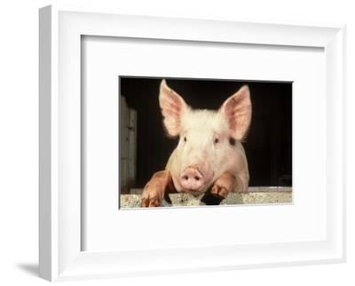 Large White Cross Landrace Pig Peering Over Sty Wall, Yorkshire, UK-Mark Hamblin-Framed Photographic Print