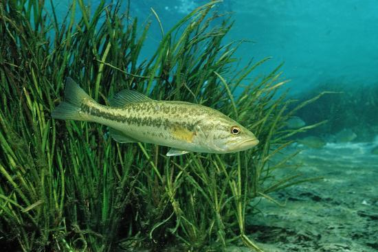 Largemouth Bass, Micropterus Salmoides, Usa, Florida, FL-Reinhard Dirscherl-Photographic Print