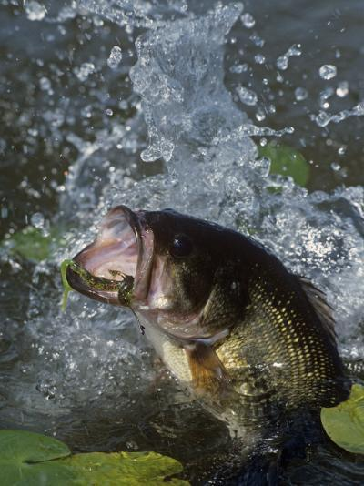 Largemouth Bass, Plastic Lure, Lily Pads-Wally Eberhart-Photographic Print