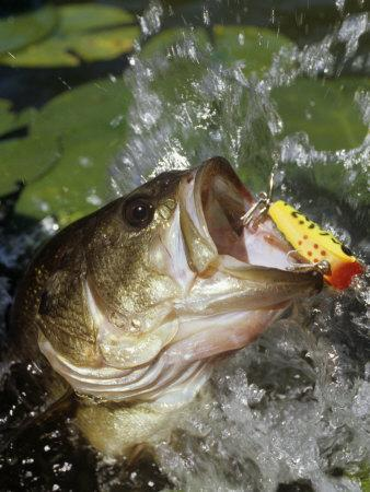 Largemouth Bass with Surface Lure-Wally Eberhart-Photographic Print