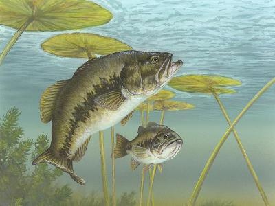 Largemouth Bass--Giclee Print