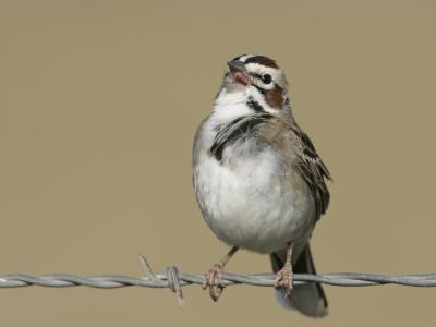 Lark Sparrow Singing, Chondestes Grammacus, Texas, USA-Arthur Morris-Photographic Print