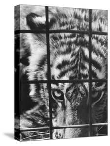 Caged White Tiger by Larry Burrows