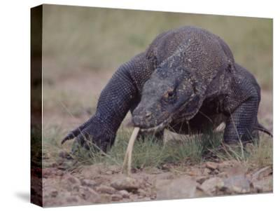 "Monitor Lizard, Called the ""Komodo Dragon"", on the Island of Flores"