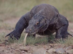 """Monitor Lizard, Called the """"Komodo Dragon"""", on the Island of Flores by Larry Burrows"""
