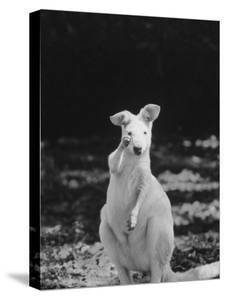 Part of a Herd of 40 Albino Kangaroos by Larry Burrows