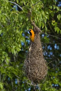 Altamira Oriole adult emerging from nest. by Larry Ditto