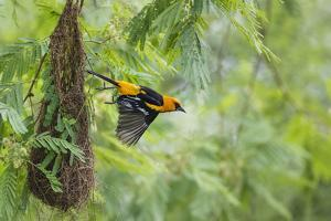 Altamira Oriole at Nest by Larry Ditto