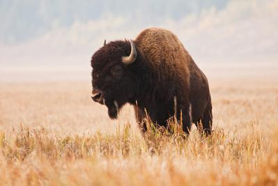 American Bison herd in Teton National Park, Wyoming, USA