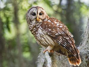 Barred Owl in Old Growth East Texas Forest With Spanish Moss, Caddo Lake, Texas, USA by Larry Ditto