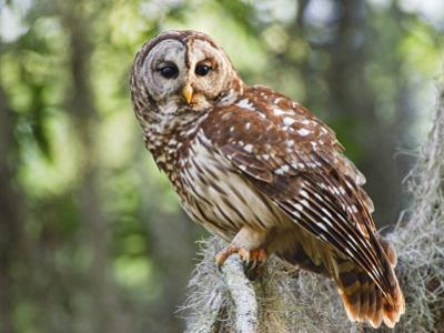 Barred Owl in Old Growth East Texas Forest With Spanish Moss, Caddo Lake, Texas, USA