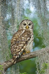 Barred Owl (Strix Varia) in Bald Cypress Forest on Caddo Lake, Texas, USA by Larry Ditto