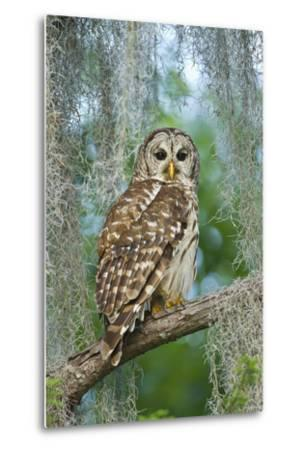 Barred Owl (Strix Varia) in Bald Cypress Forest on Caddo Lake, Texas, USA