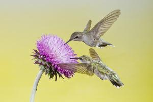 Black-Chinned Hummingbird Females Feeding at Flowers, Texas, USA by Larry Ditto