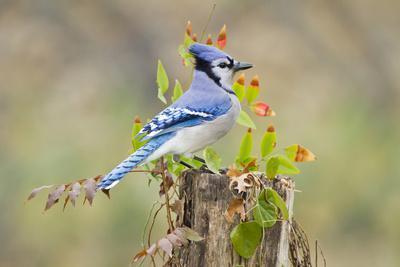 Blue Jay Bird, Adults on Log with Acorns, Autumn, Texas, USA
