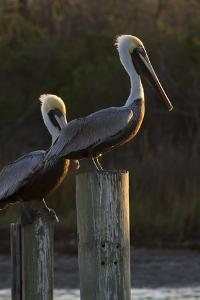 Brown Pelican Bird Sunning on Pilings in Aransas Bay, Texas, USA by Larry Ditto