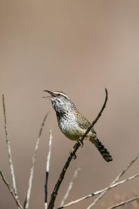 Cactus Wren Adult Calling by Larry Ditto
